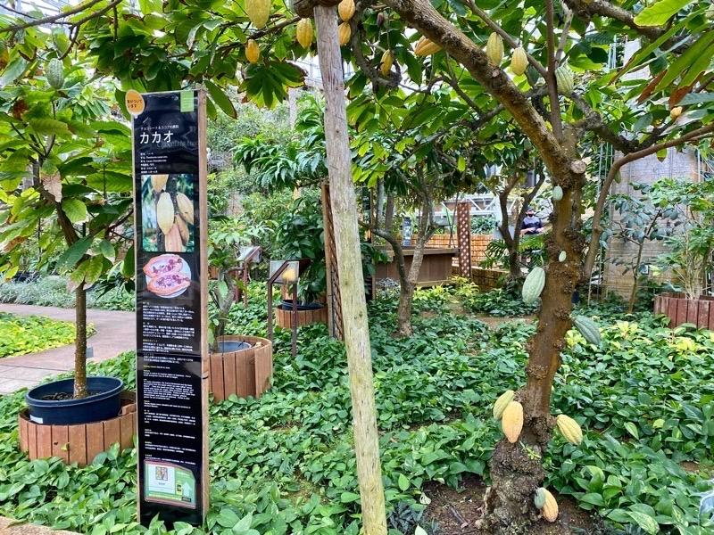 熱帯ドリームセンターカカオの木